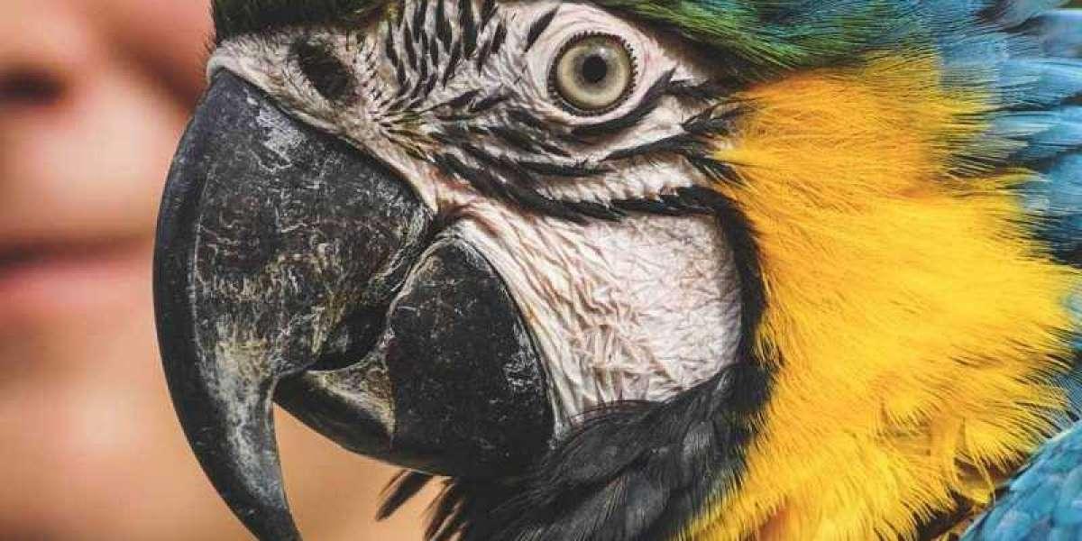 Parakeet Birds as a Pet for Your Home