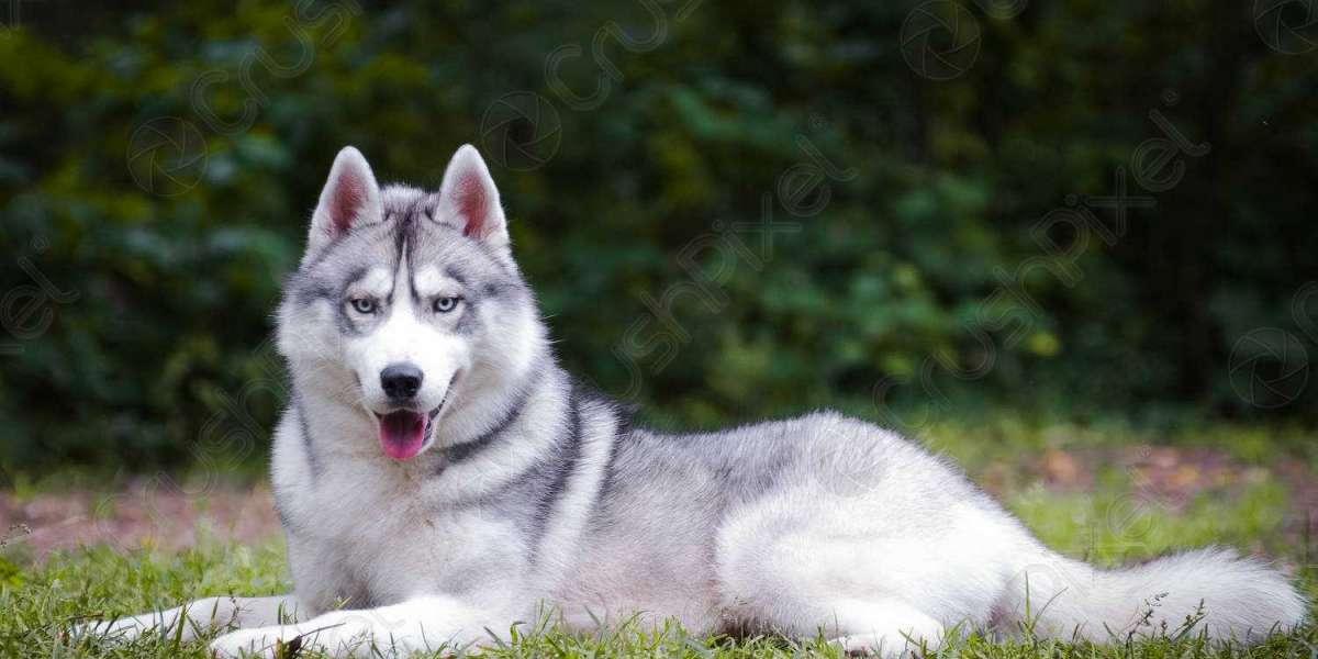 Thông tin về chó Husky? Đặc điểm và lịch sử của giống chó Husky Siberian